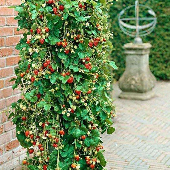 Кула с разсад ягоди Азия или Клери