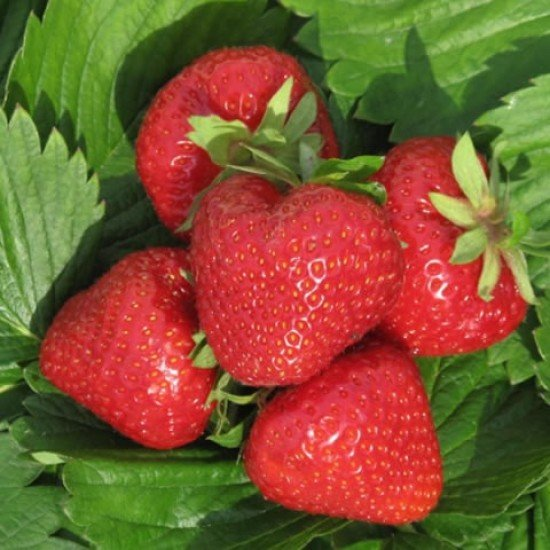 Разсад за ягоди Дели в тарелка