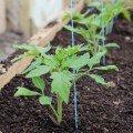 Разсад на домати