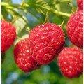 Разсад за малини, къпини и плодни храсти